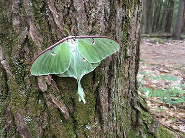 [A beautiful Luna Moth that greeted us after a particularly long and difficult field day. Photo by Colleen Smith]