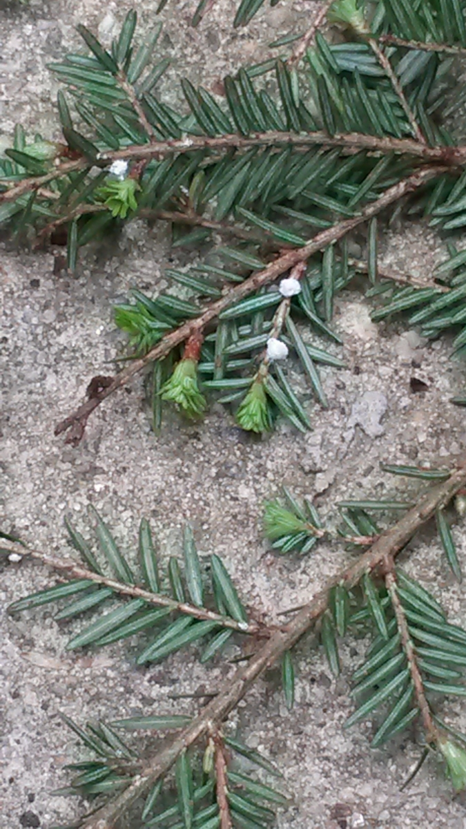 [Hemlock branch with the small, white, woolly masses - signs of the hemlock woolly adelgid - visible at the base of some needles]