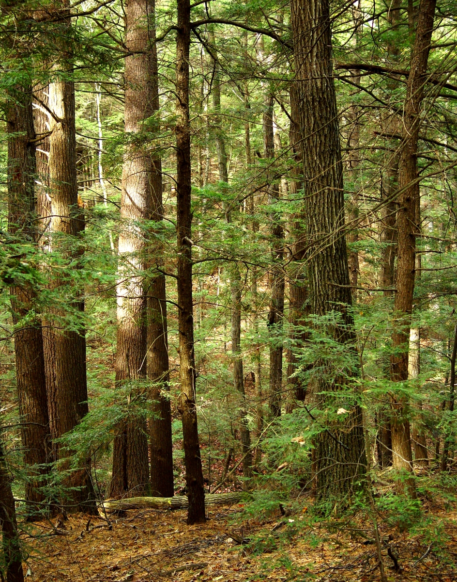 Hemlock: A Forest Giant on the Edge | Harvard Forest