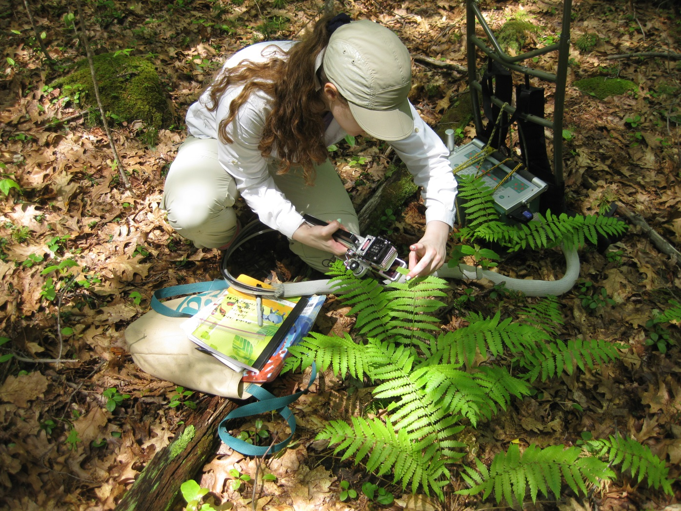 [Measuring a cinnamon fern in one of the plots using the Li-Cor 6400XT Portable Photosynthesis System.]