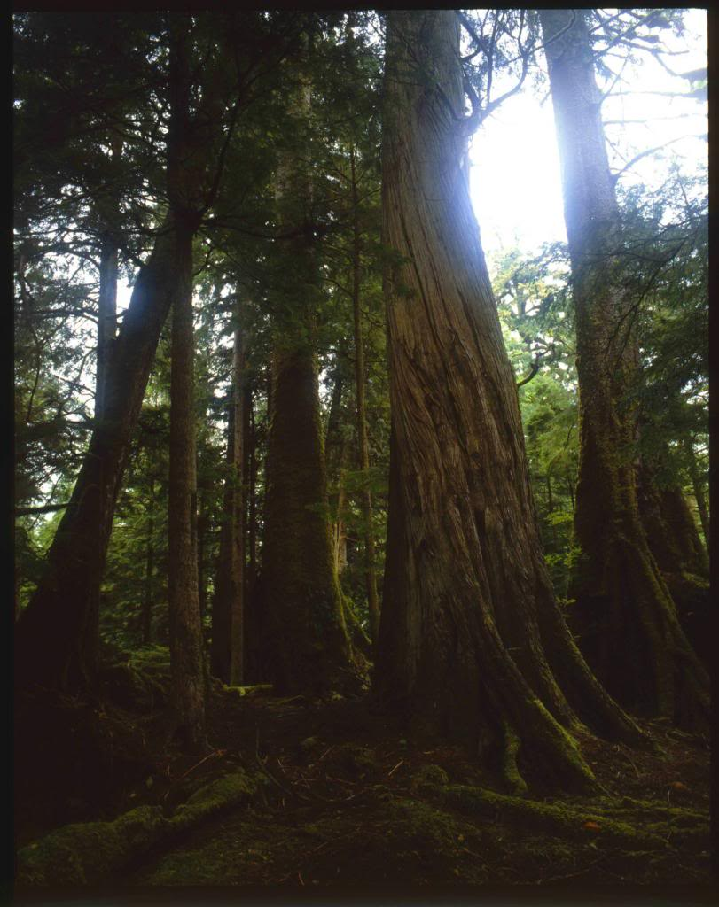 [A huge hemlock tree.]