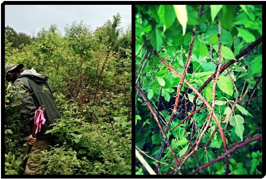 [My field partner, Lowell, tromping through the blackberries (left) and an upclose look at some more blackberry, our favorite shrub species (right)]