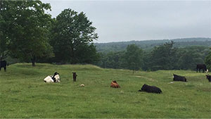 cows of Harvard Farm