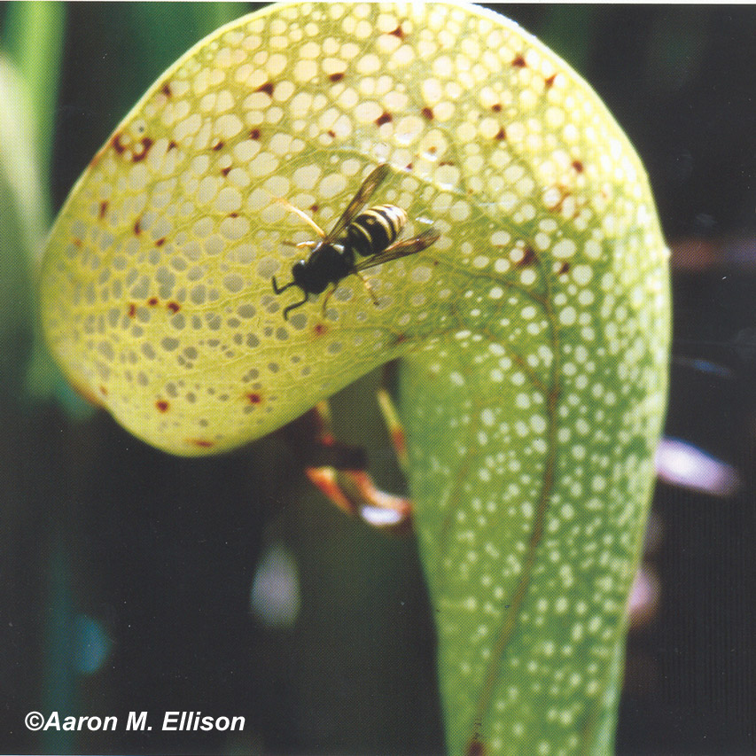 Darlingtonia with wasp