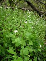 Garlic mustard invasion