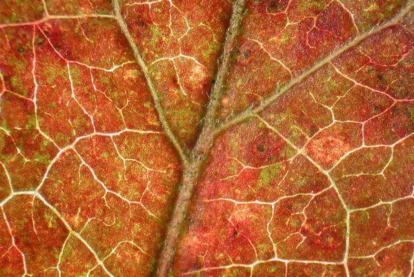 Leaf Color Patterns In Aging Leaves Harvard Forest