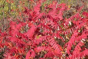 Stag-horn Sumac