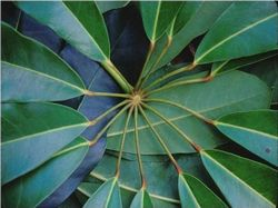 Umbrella Tree Leaf