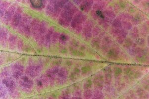 [Leaf close-up of the maple-leaf viburnum, showing the extraordinary purple color of these leaves.]