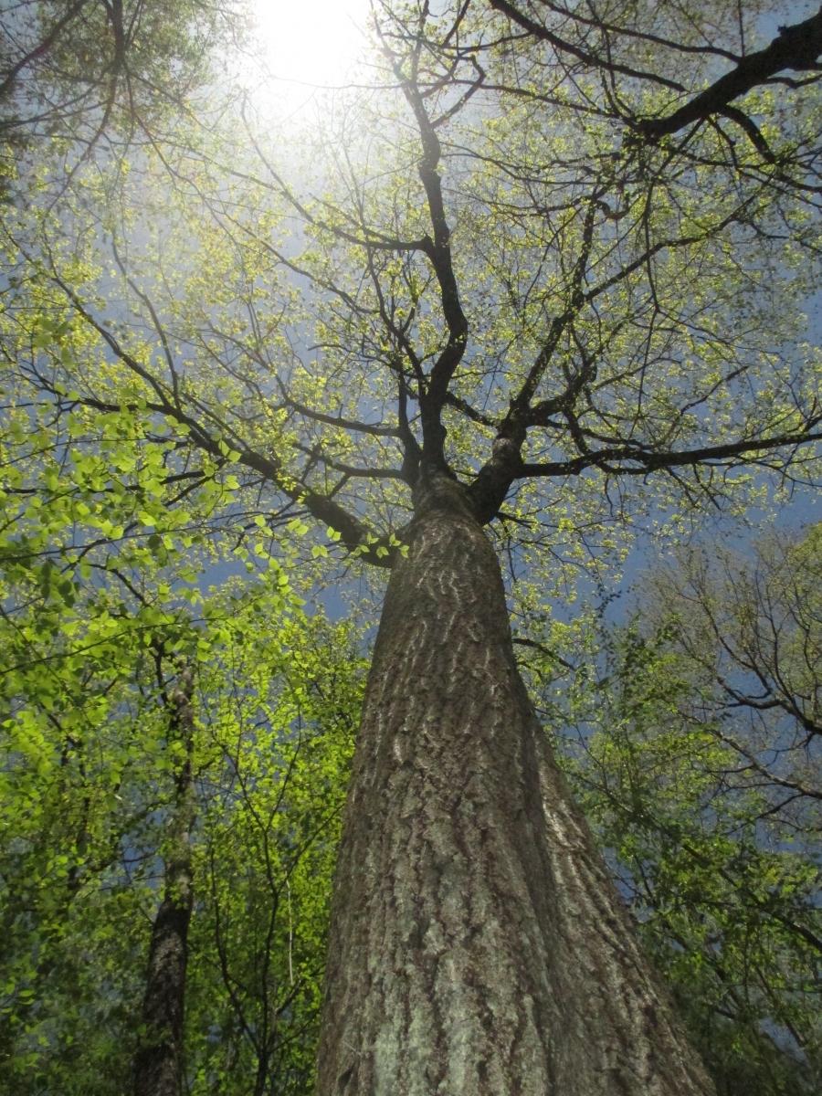 Trees Of Santa Cruz County Melaleuca Quinquenervia: Harvard Forest