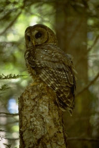 northern spotted owl at the Andrews