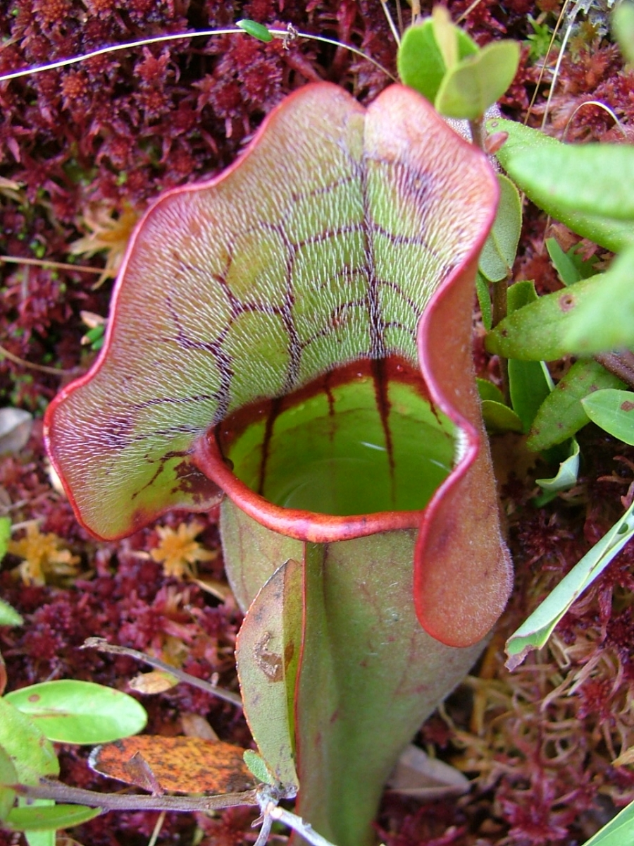 Press Resources  An Inside Look At Pitcher Plants 4  1  13