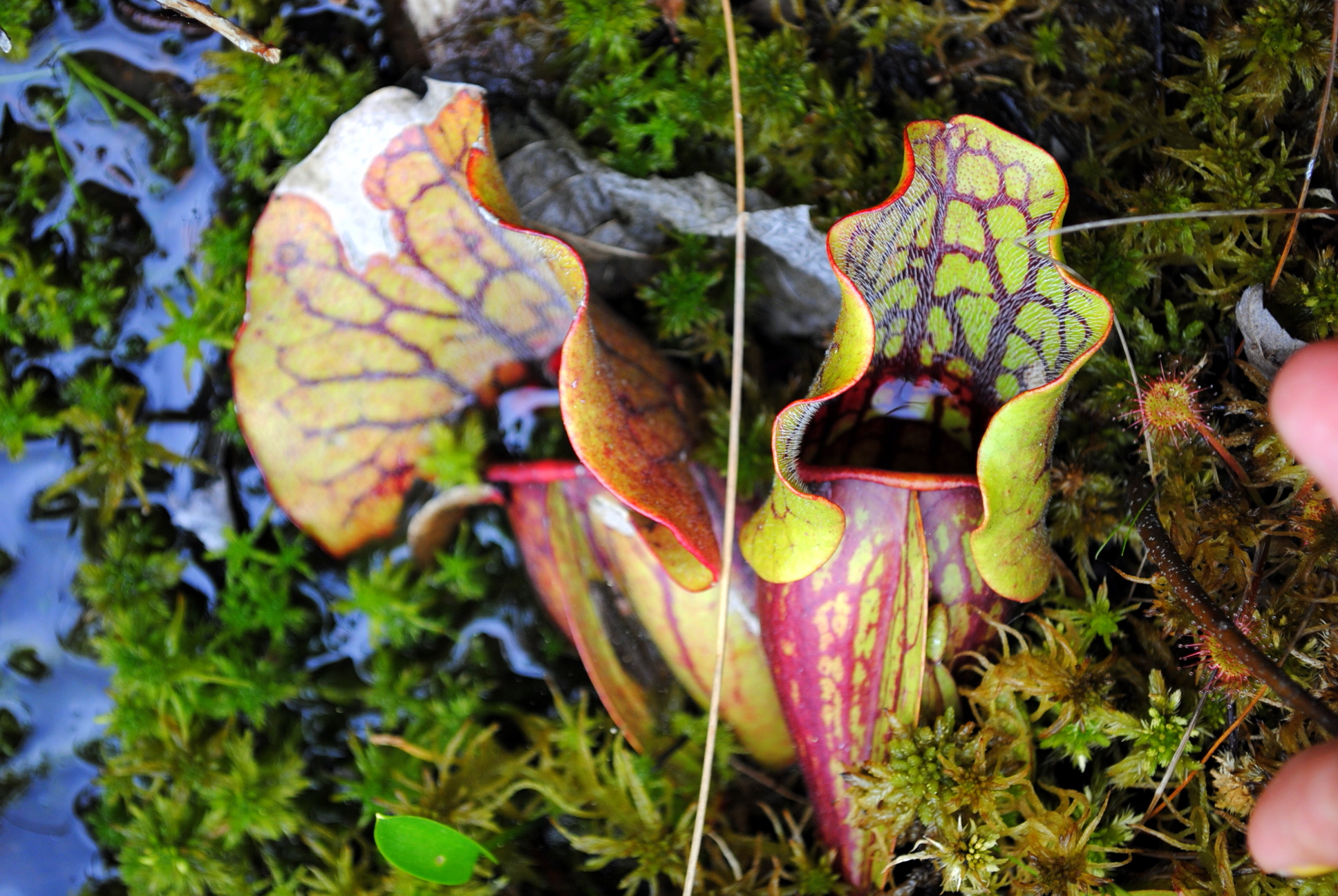Carnivorous plants harvard forest for Plante carnivore