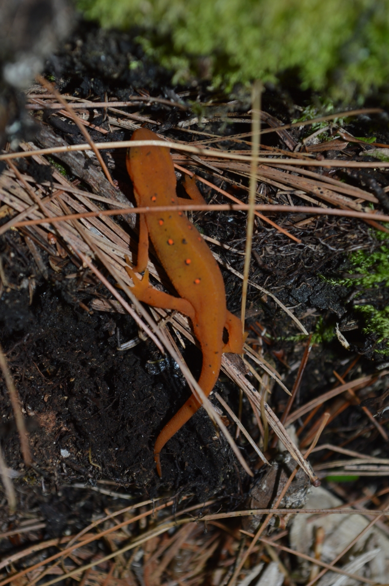 [red-spotted newt in the juvenile, red eft stage]