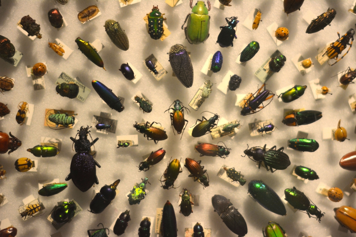 [Pinned beetles at the Harvard Museum of Natural History. Photograph courtesy of Alayna Johnson.]