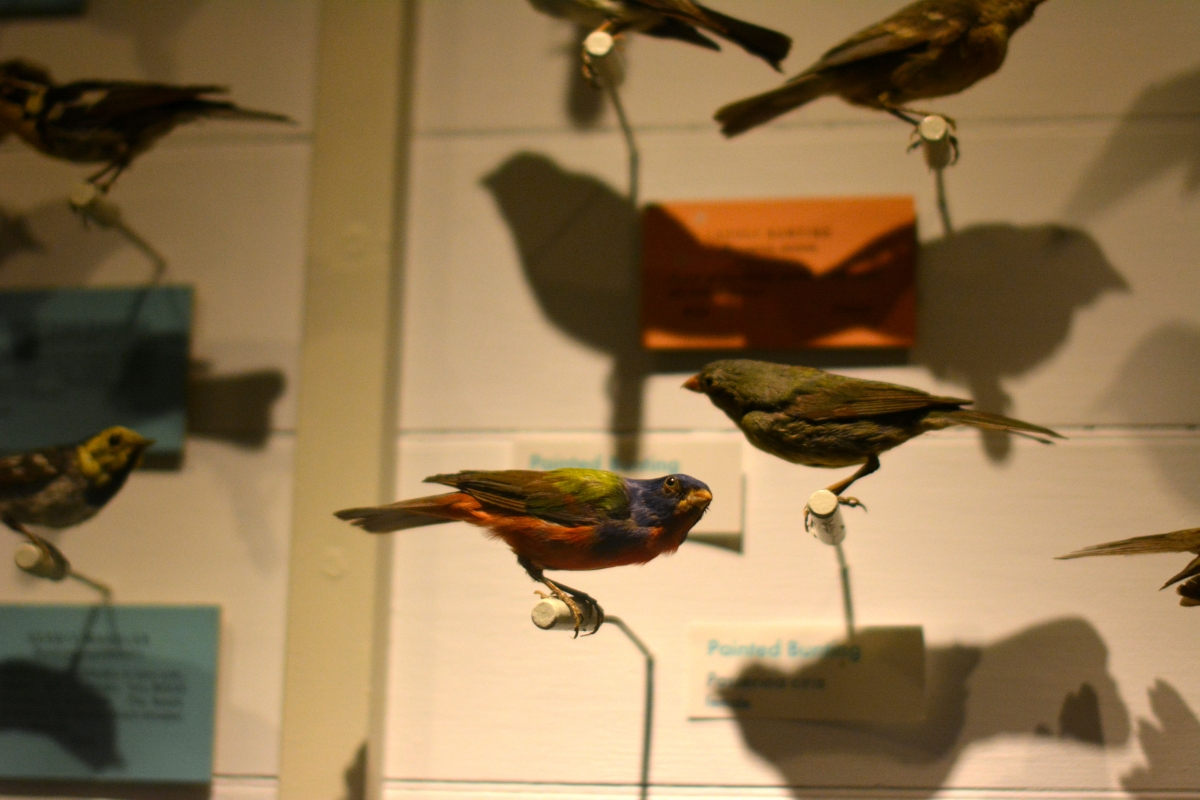[Mounted birds at the Harvard Museum of Natural History. Photograph courtesy of Alayna Johnson.]