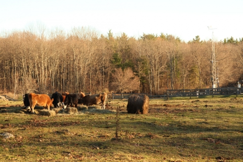 Cows Graze Near Fisher Meteorological Station