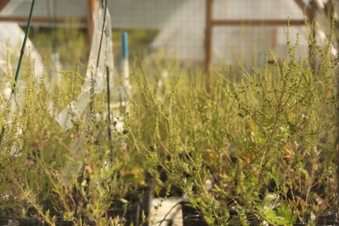 Flowering Ragweed Plants In Hoop-House Experiment