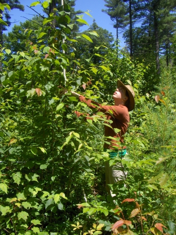 Summer Research Program Student Measures Hardwood Regrowth