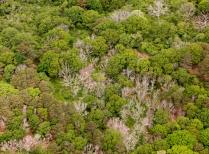 Aerial view of oak mortality