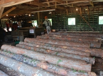 Logs From Red Pine Plantation Harvest
