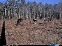 Moose images on motion camera