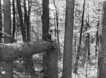 Old Growth Forest - Pisgah Tract