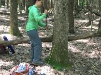 Coring white oak