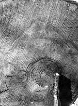 Bob Marshall hemlock rings - Harvard Forest