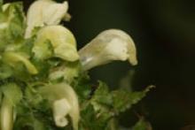 Lousewort flower