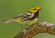 black-throated green warbler by Brooks Mathewson