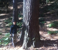 large pine at Ice Glen