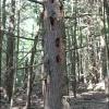 Hemlock trunk