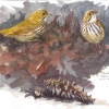 Ovenbirds