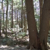 Hemlock removal experiment hardwood control plot