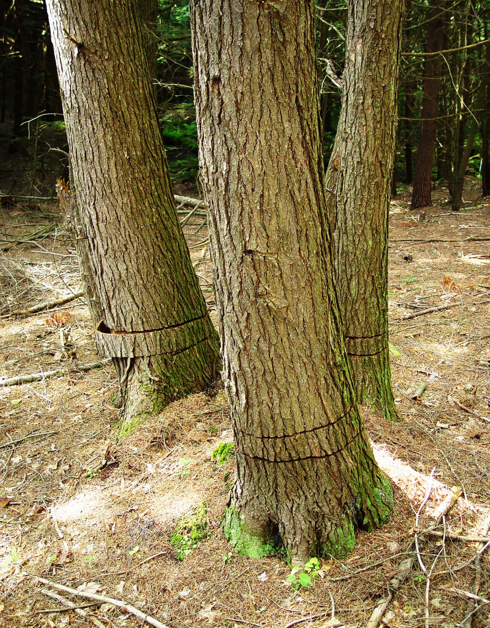 Girdled Hemlock