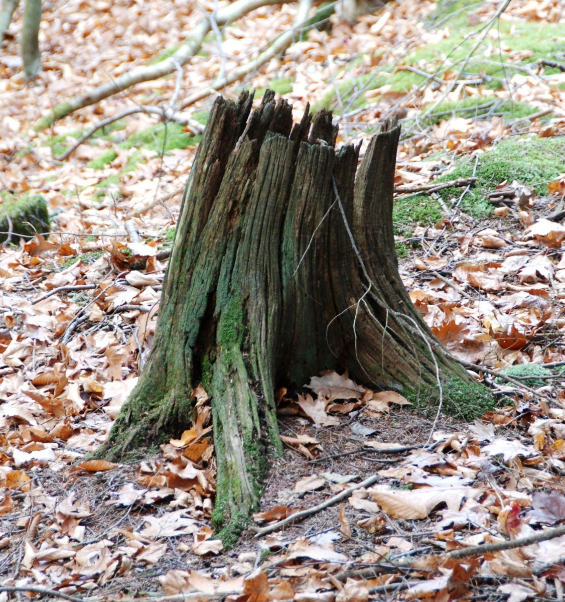 Chestnut Stump
